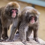 Pair of Japanese Macaques