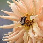 Bumble Bee in a Dahlia