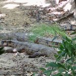 Two crocodiles resting at Wildlife Habitat