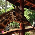 Visitors can go to the raised platform to feed the giraffes.