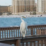 Clearwater pier bird