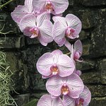 The Cascade Wall is the centerpiece of the Orchid Conservatory.