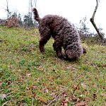 Cioco the truffle dog