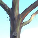 Eucalyptus Tree Actual Colors!! Green and Orange Under Grey!
