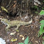Tuatara, a 200 million year old reptile driven almost to extinction by human-introduced pests