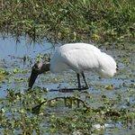 Wood stork looking for food