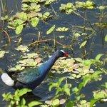Blue gallinule