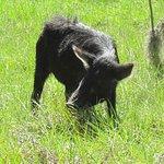 Mama pig wandering past