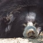 One of the sloth bears taking a rest