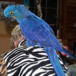 Hyacinth macaw, the largest parrot.