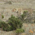 Gepard, ganz nah gesehen