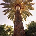 Una palma dell'Alhambra...