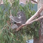 Koala feeding on eucalyptus