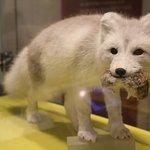 Beautiful Snow Fox