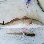22 inch redfish caught outside rabbit pass