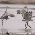 Sandhill Cranes Getting Their Groove On