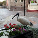 Ibis, trying to get some dinner too
