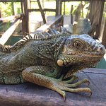 Green Iguana Conservation Project Foto