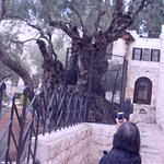 photo of visitor taking photo of olive tree