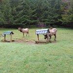 Elk eating breakfast.