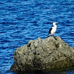 Pied Shag (Cormorant) on Rock near Beach