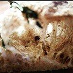 Photo of Mimosa