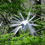 Great White Egret - Breeding adult Great Egrets form monogamous pairs each breeding season, thou