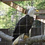 This is the Bald Eagle