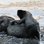 BABY ELEPHANT PLAYING WITH OLDER SISTER