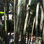 Bamboo shoots in gardens