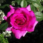 one of the many rose's