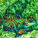 Palau Escape guided us to magnificent wild Mandarin Fish!