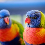 Lorikeets captured on unit balcony