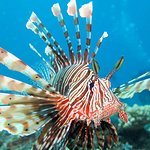 Pterois russelii