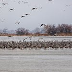 This is the beginning of the evening return of the Sandhill Cranes to the Platte River. Amazing!
