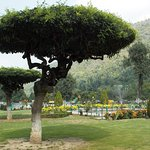 Chashme Shahi...Umbrella Tree