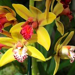 Colorful Orchids at the STL Botanical Garden