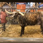 A Long Horn Bull at the Rodeo