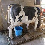 Practice milking a plastic cow