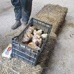 Stroke the chicks in the barn