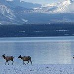 elk on snow-covered sandbar at Lake Yellowstone