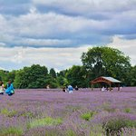 Mayfield Lavender Farm Photo