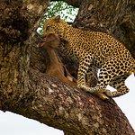 Leopard taking its kill up a tree.