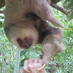 Feeding a sloth