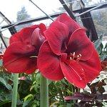 Amaryllis, Inverness Botanic Gardens
