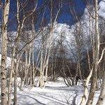 Birch trees, lower slopes near Mt Etna