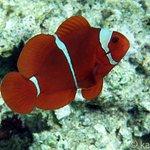 Spinecheek Anemonefish on Siladen House Reef
