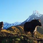 Yaks and Machhapuchhre