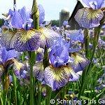 "Siberian Iris ""Banish Misfortune"" blooming in the fields."