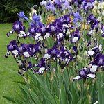 """Tall Bearded Iris """"Stepping Out"""" blooming in May."""